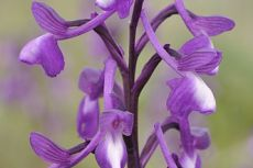 Orchis champagneuxii