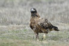 Spanish Imperial eagle, subadult