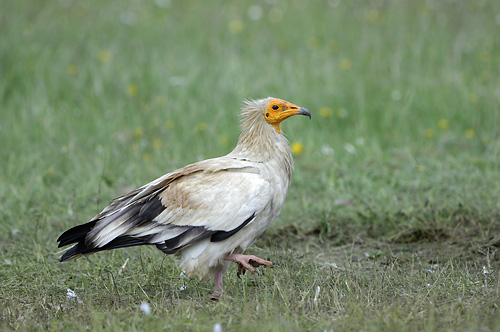 Extremadura, holiday, birds, birding, Monfragüe, National Park, Egyptian vulture