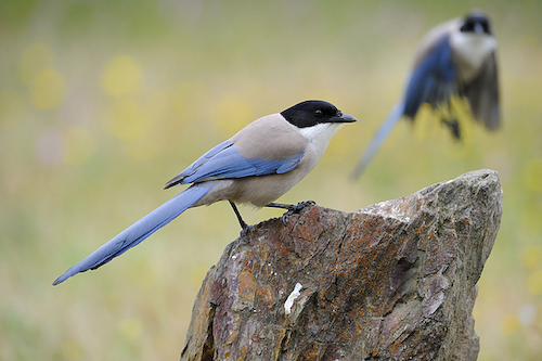 Extremadura, holiday, birds, birding, Monfragüe, National Park, Finca Las Abubillas, Azure-winged Magpies