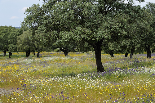 Extremadura, holiday, birds, birding, Monfragüe, National Park, flowering dehesa