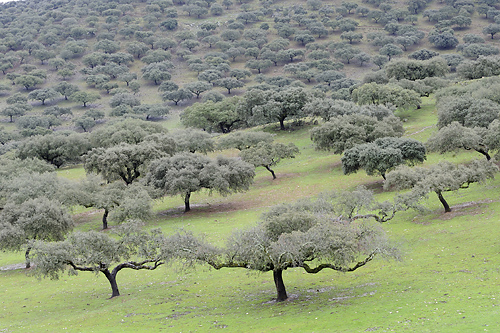 Extremadura, holiday, birds, birding, Monfragüe, National Park, dehesa with holmoakes