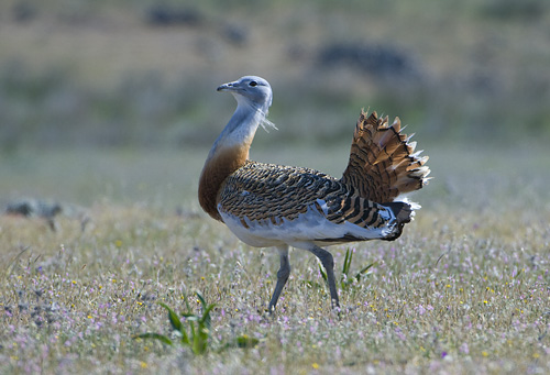 Extremadura, birds, birding, birdwatching, holiday, holiday-home, guide, guided tour, Great Bustard, Las Abubillas