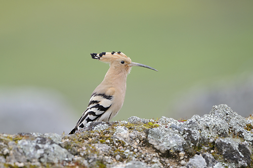 Extremadura, holiday, birds, birding, Hoopoe, Monfragüe, National Park