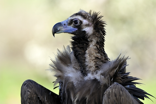 Extremadura, holiday, birds, birding, chalet, holiday-home, Finca Las Abubillas, birdwatching, black vulture