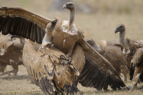 Extremadura, holiday, birds, birding, Monfragüe, National Park, Griffon vultures fighting