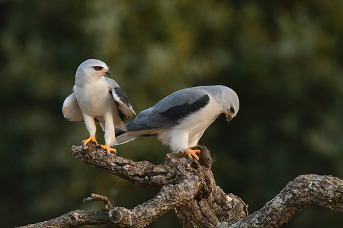 Extremadura, holiday, bird watching, birding, photographing birds, Black shouldered Kite, copyright: Hide la Calera