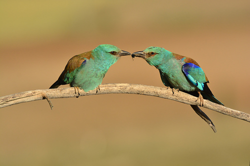 Extremadura, holiday, bird watching, birding, photographing birds, european roller, copyright: Hide la Calera