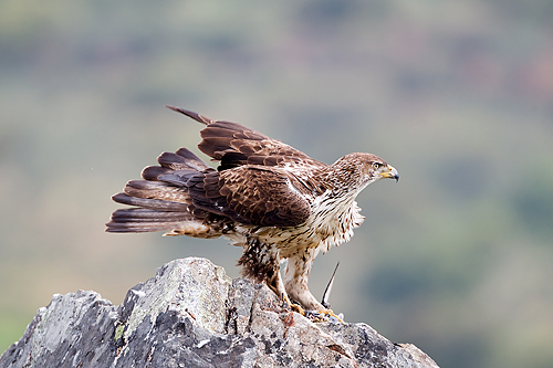 Extremadura, holiday, bird watching, birding, photographing birds, Bonelli's Eagle, copyright: Gerard de Hoog