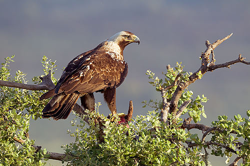 Extremadura, holiday, bird watching, birding, photographing birds, Spanish Imperial Eagle, copyright: Gerard de Hoog