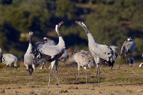 Extremadura, holiday, bird watching, birding, photographing birds, Common cranes, copyright: Hide la Calera