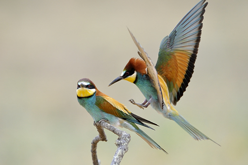 Extremadura, holiday, birds, birding, Monfragüe, National Park, European bee-eater