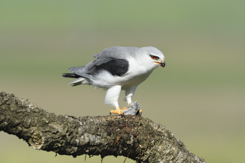 Extremadura, birds, holiday, birdwatching, black shouldered kite, finca las abubillas, monfrague national park