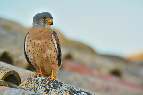 Extremadura, holiday, bird watching, birding, photographing birds, Lesser Kestrel, copyright: Hide la Calera